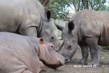 Rhinos Isimiso and Mahkosi with hippo Charlie at Thula Thula Rhino Orphanage