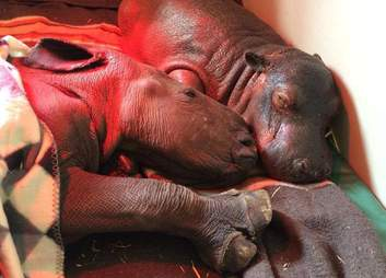 One of the rhinos, Makhosi, napping with Charlie the hippo