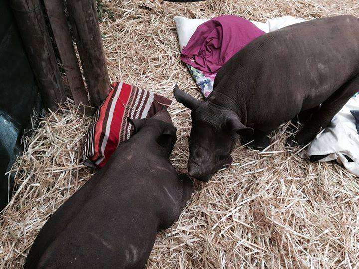 Two of the rhinos at Thula Thula Orphanage