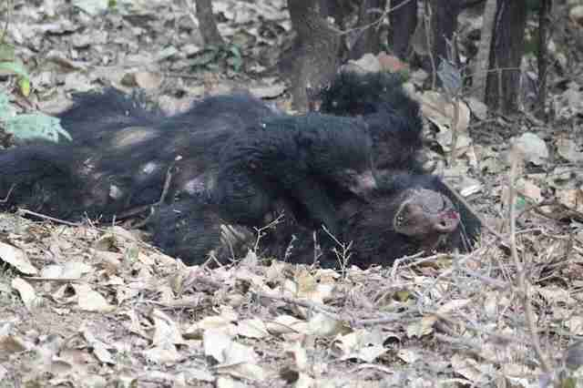A sloth bear clinging to the body of his dead mom