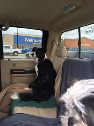 Dog in back of car