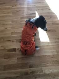 Service dog in coat