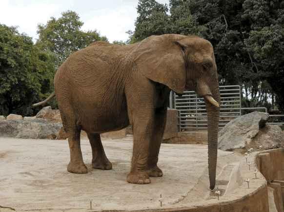 Study: Wild Elephants Live Three Times Longer Than Captive