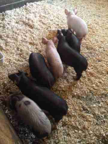 Rescue Pig Wants To Learn Everything Her Dog Siblings Know
