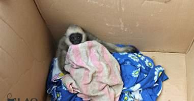 Trafficked gibbon orphan in cardboard box