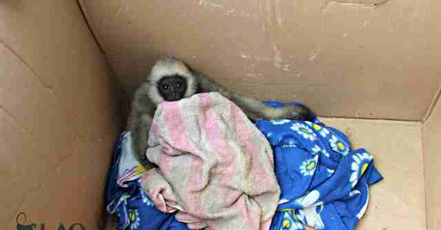 Trafficked gibbon orphan in cardboard box
