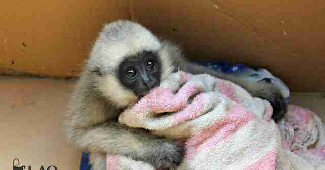 Orphaned gibbon seized from traffickers