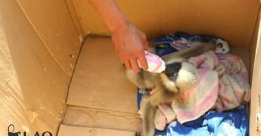 Orphaned gibbon bottle-feeding in box