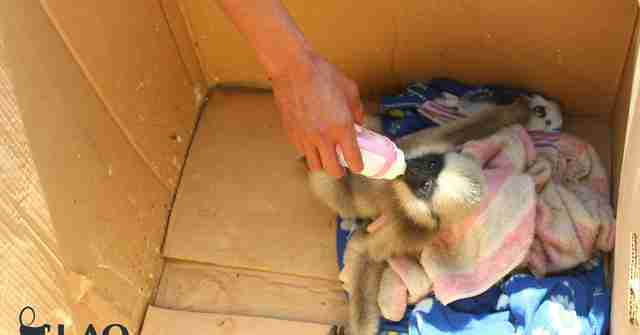 Orphaned gibbon bottle-feeding in box