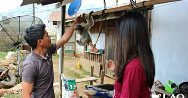 Orphaned gibbon with rescuers