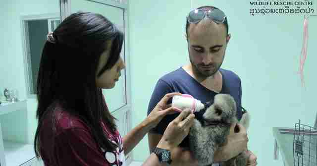 Orphaned gibbon getting bottle-fed by rescuers in Laos