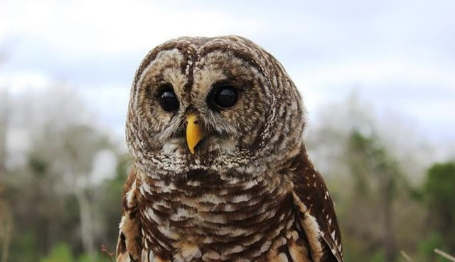 saving an injured owl in a state that just doesn t care the dodo