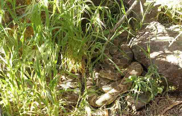 Northern pacific rattlesnakes resting near their den, photographed by Adrian Slade.