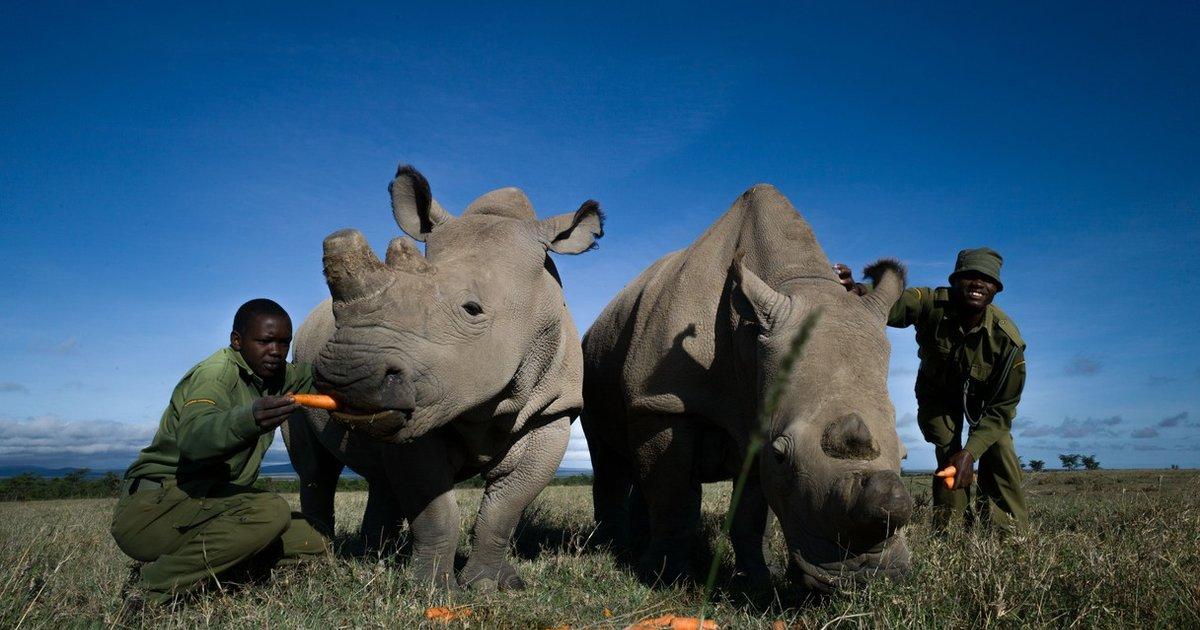 kak-viebat-nosoroga-i-ostatsya