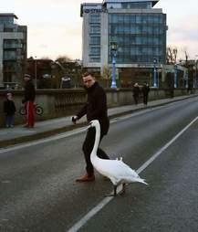 Man helping swan in Limerick, Ireland