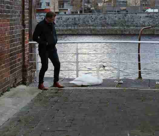 Man helping swan in Limerick, Ireland