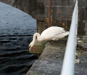Swan after getting help in Limerick, Ireland