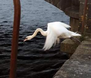 Swan in Limerick, Ireland