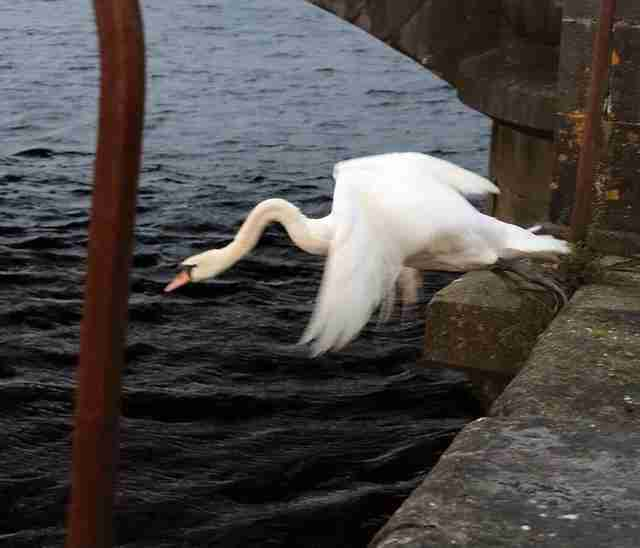 Swan in Limerick, Ireland