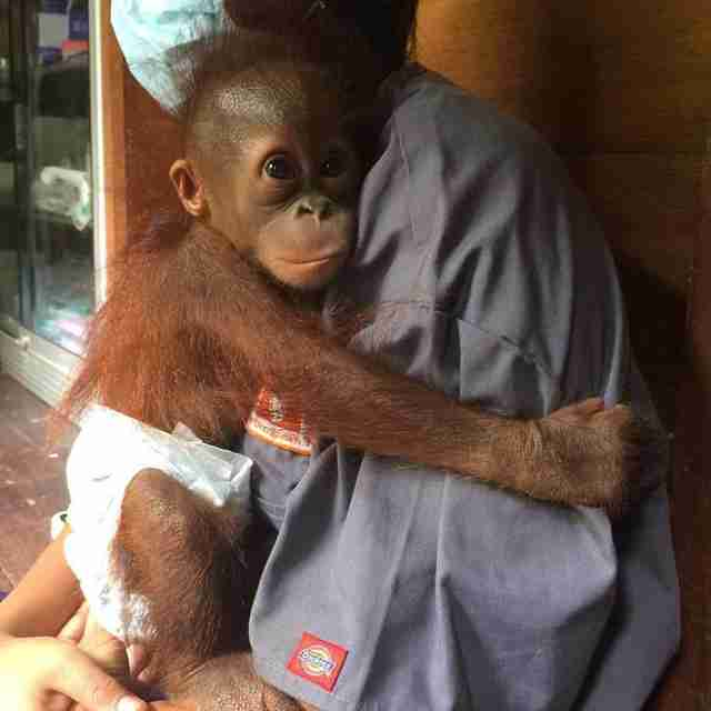 Image result for orangutan baby