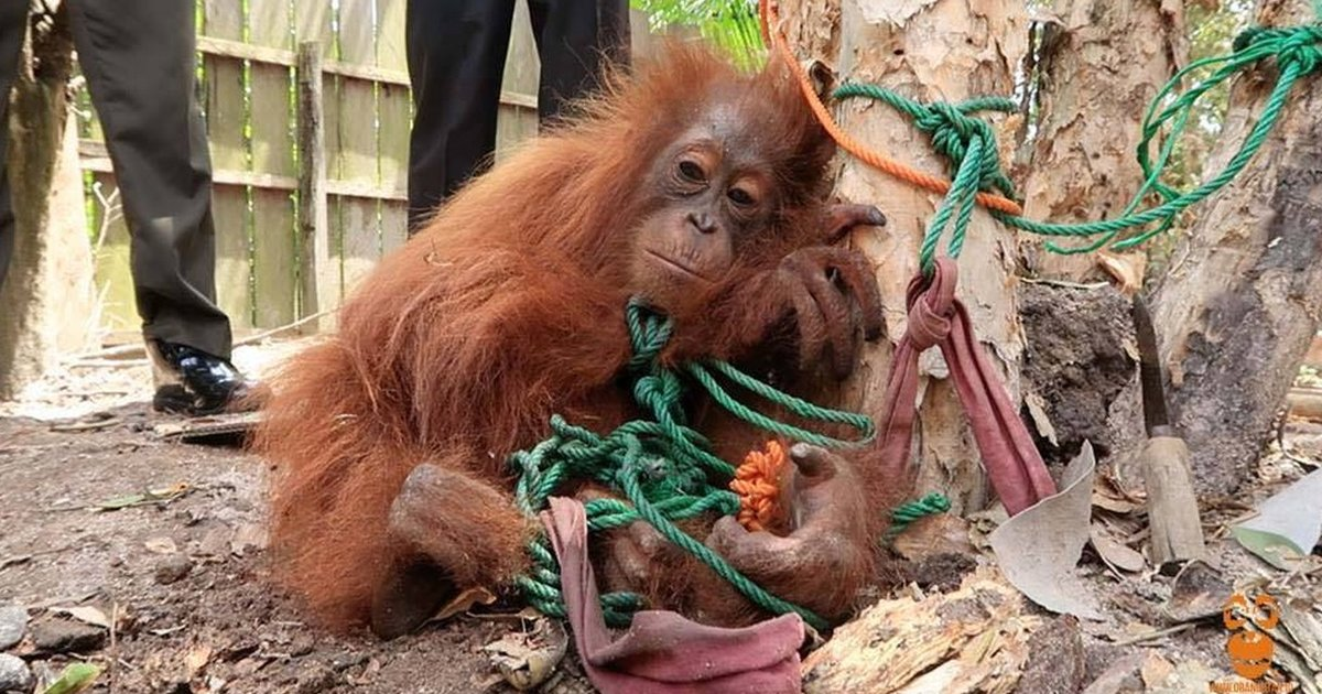 orangutan was to a tree so that someone would buy