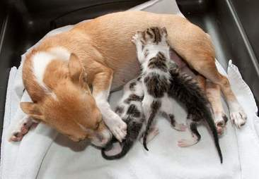 dog nurses kittens