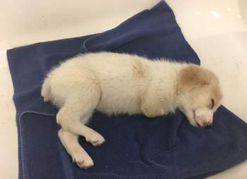 Puppy with two legs sleeping
