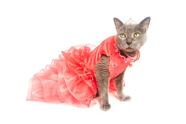 cat in a dress