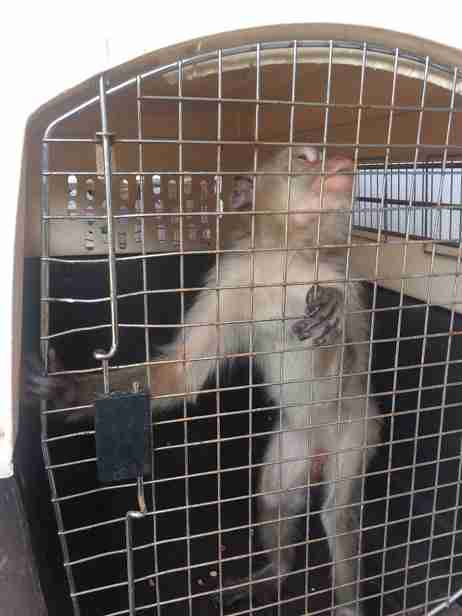 Caged monkey being transported to rescue facility