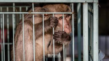 Macaque monkey at rescue facility