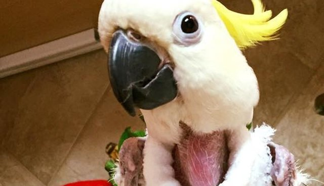 Anxious Bird Who Destroyed Her Feathers Warms Up In A New Sweater