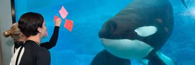 Tilikum the orca at SeaWorld Orlando