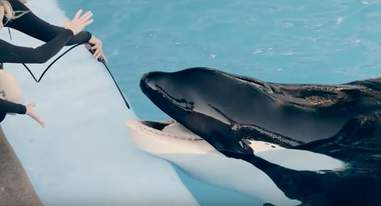 Tilikum the orca during a teeth cleaning at SeaWorld Orlando