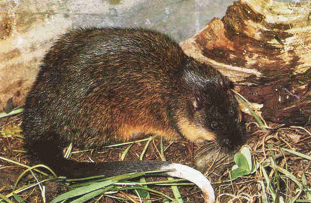 5 Reasons To Adore The Water Rat The Dodo