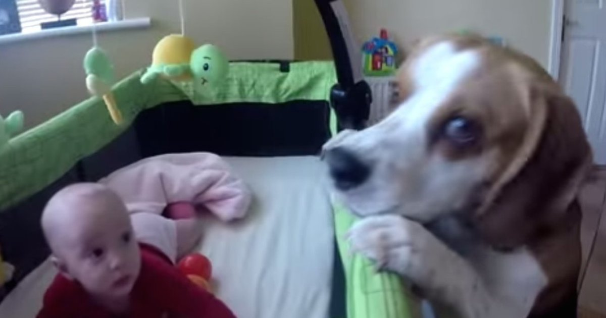 Doting Dog Keeps Baby Entertained Transforms Crib Into