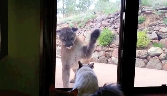 Curious Mountain Lion Tries To Meet Little House Cat The