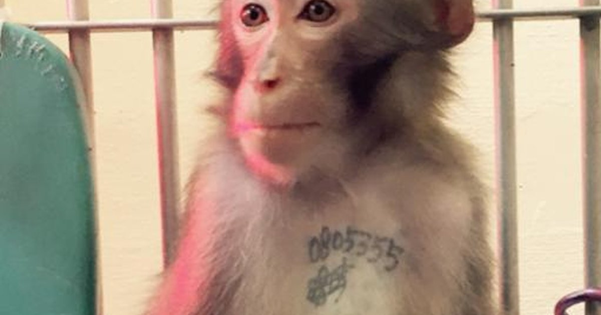 50f2ce41d8f76 Tattooed Monkey Finds Peace After A Lifetime Of Suffering - The Dodo