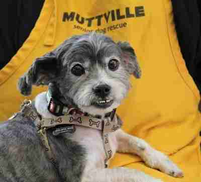 Pops, now safe at Muttville Senior Dog Rescue, San Francisco