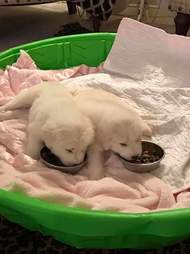 great pyrenees puppies eating kibble