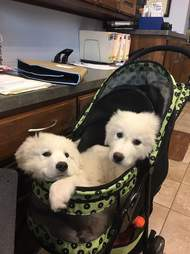 great pyrenees puppies in stroller