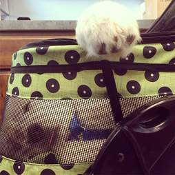 great pyrenees puppy in stroller