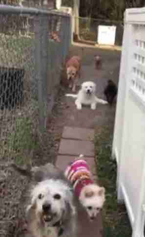 great pyrenees puppies learning to walk