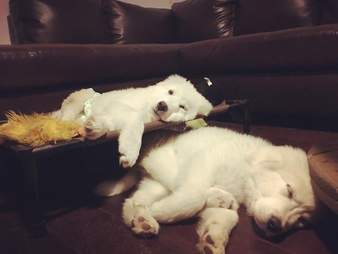 great pyrenees puppies sleeping