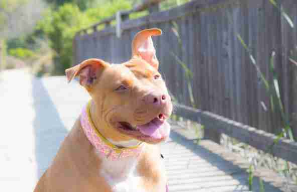 pit bull wears bandanas to fight breed discrimination