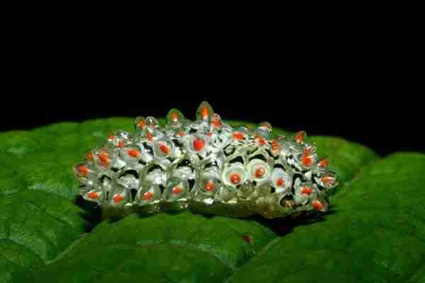 Costa rica redhead caterpillars