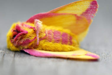 Rosy Maple Moth Lying on her Back