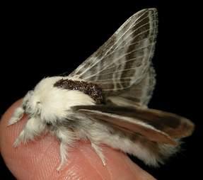 Tolype Velleda Moth