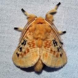 Black-waved Flannel Moth