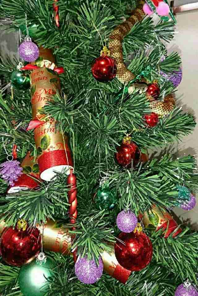 Woman Finds Deadly Snake Hanging Out In Her Christmas Tree - The Dodo