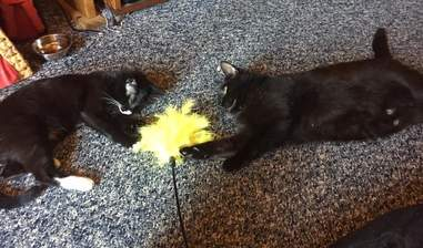 Elsa and another cat playing with a toy